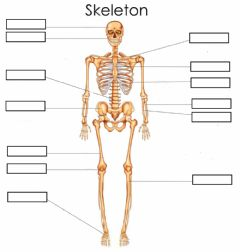 Interactive worksheet Bones (Skeleton) Basic