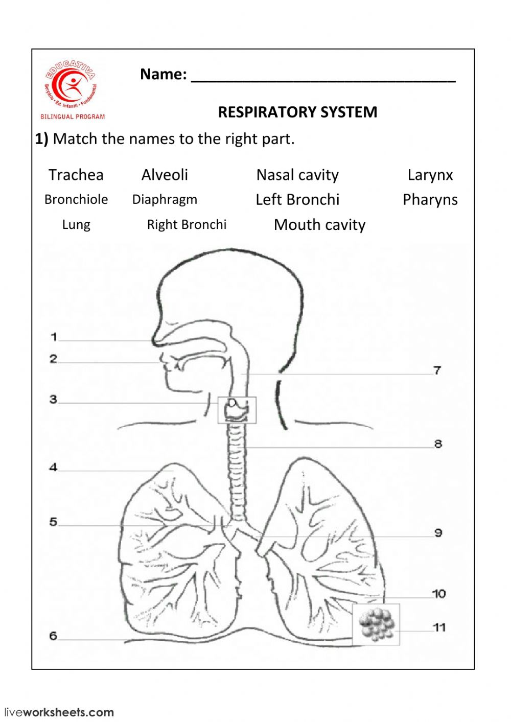 Respiratory System Interactive Worksheet