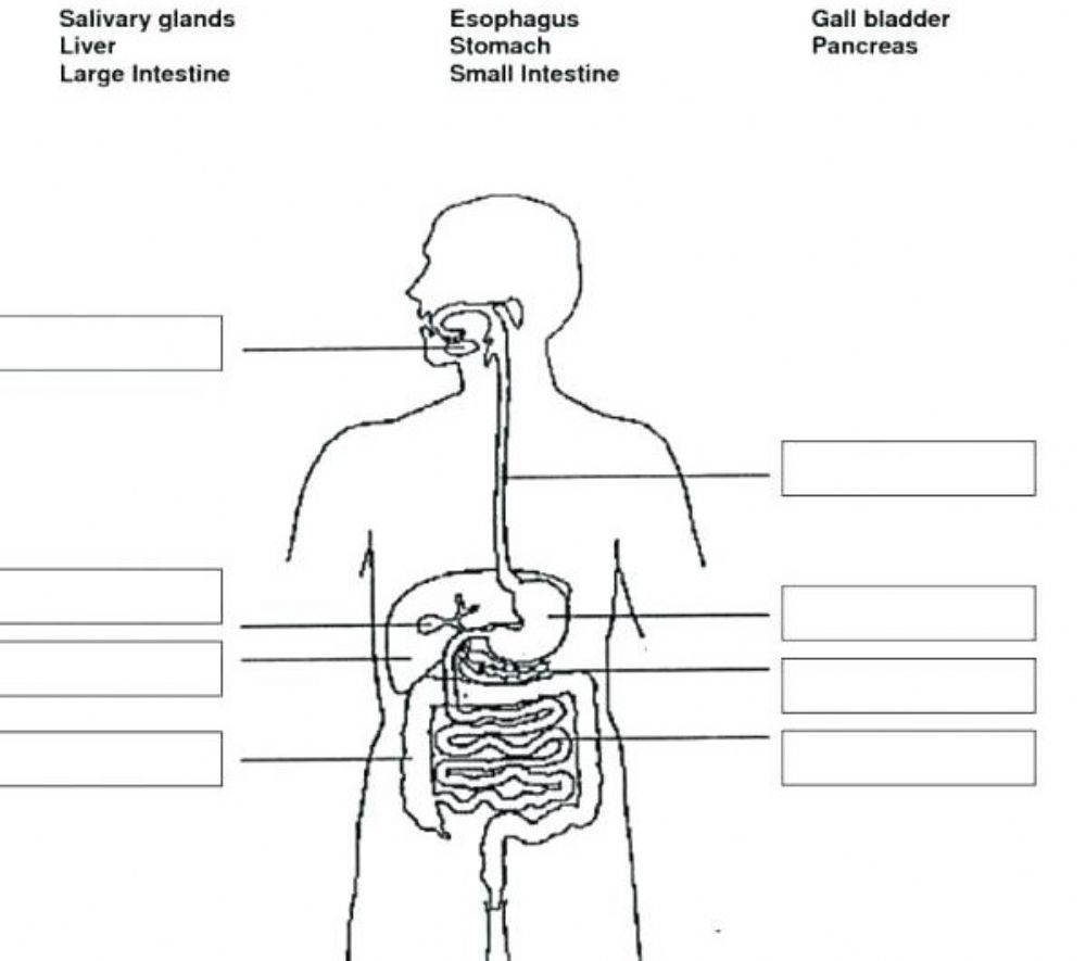 digestive system interactive worksheet