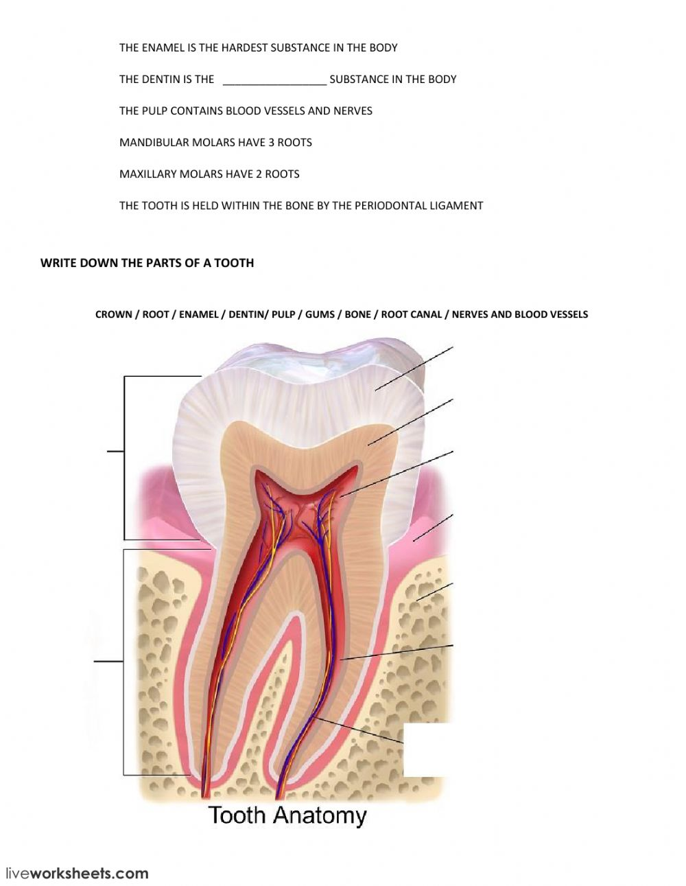 TOOTH ANATOMY FIXED - Interactive worksheet
