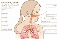 Interactive worksheet Respiratory system gap fill