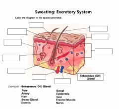 Interactive worksheet Sweat and the Excretory System