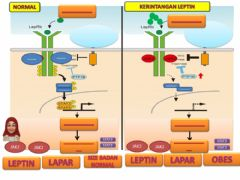 Interactive worksheet Leptin Pathway