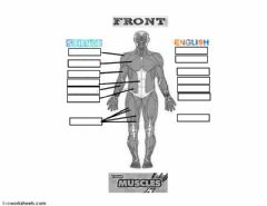 Interactive worksheet Basic muscles (Front)