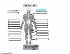 Ficha interactiva Basic muscles (Back)