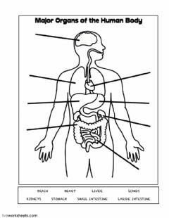 Interactive worksheet Major Organs