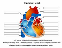 Interactive worksheet Human Heart
