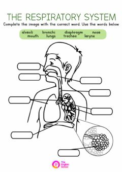 Interactive worksheet The Respiratory System