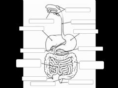 Interactive worksheet Label the Digestive System