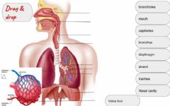 Ficha interactiva Structure of the breathing system