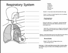 Interactive worksheet Parts of the Respiratory System-final
