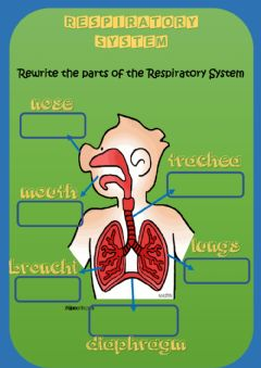 Interactive worksheet Respiratory System- parts