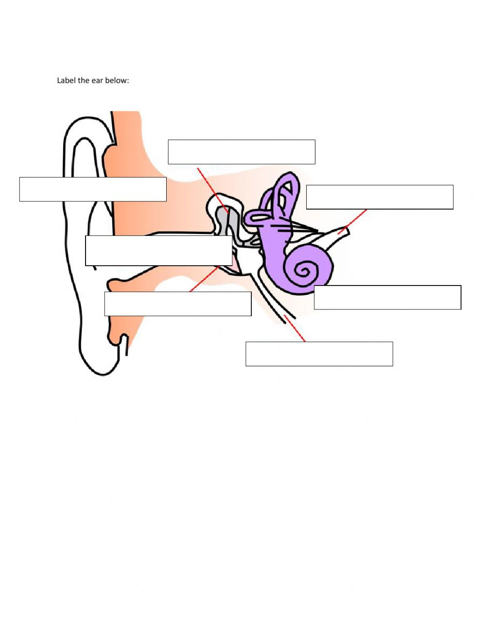 Parts of the ear interactive worksheet