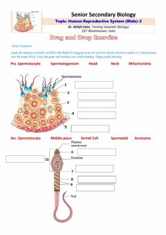 Interactive worksheet Senior Secondary Biology-Human Male Reproductive System-2