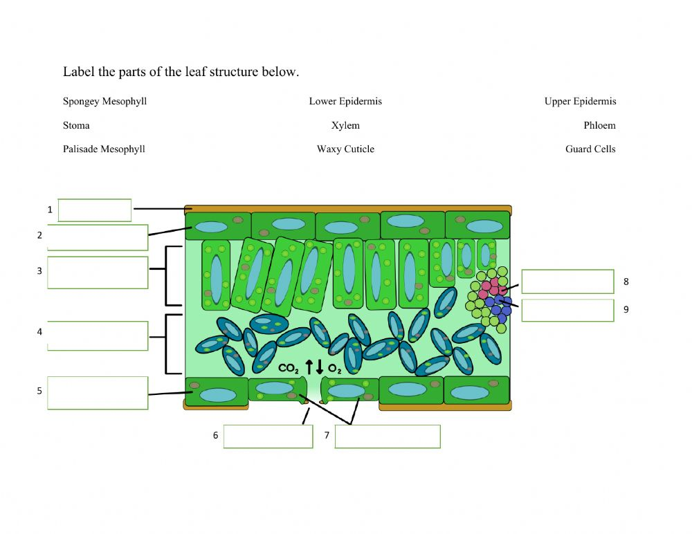 Leaf Structure interactive worksheet
