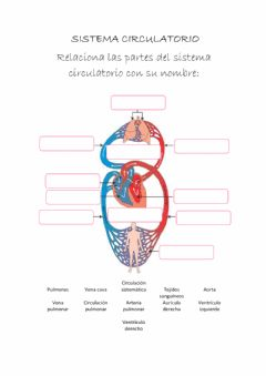 Interactive worksheet El sistema ciruclatorio
