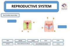 Ficha interactiva Reproductive system