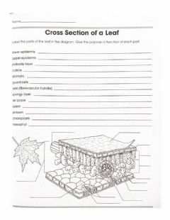 Interactive worksheet Internal structure of a leaf