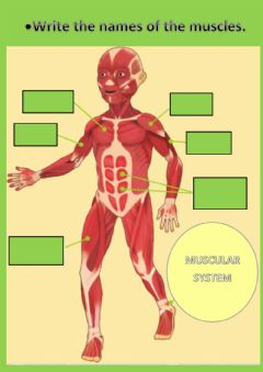 Interactive worksheet The muscular system