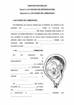 Interactive worksheet Las fases del embarazo