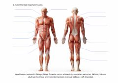 Interactive worksheet Muscular system