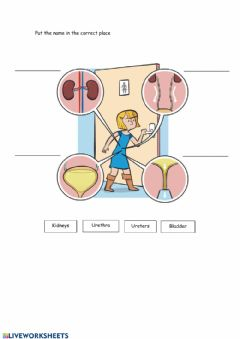 Interactive worksheet Excretory system