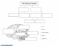 Interactive worksheet The Nervous system