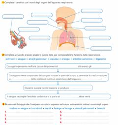 Interactive worksheet Apparato respiratorio 1
