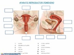 Interactive worksheet Aparato reproductor