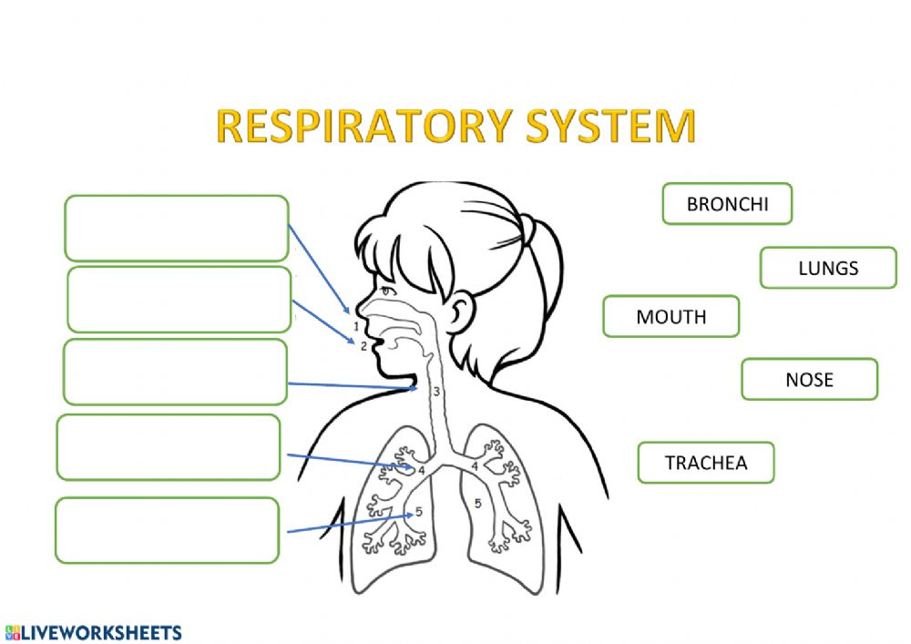 Respiratory system exercise