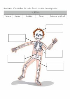 Interactive worksheet Aparato locomotor: Huesos