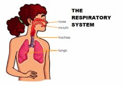 Interactive worksheet Respiratory system poster