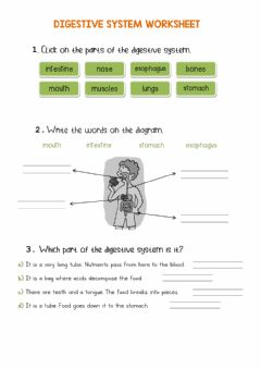 Interactive worksheet Digestive system worksheet