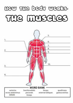 Interactive worksheet Y5 the muscles