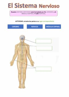 Interactive worksheet Sistema Nervioso