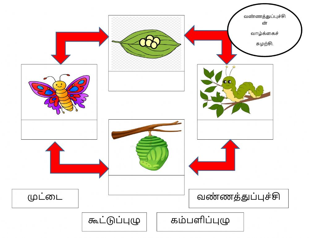 Butterfly Life Cycle Interactive Worksheet