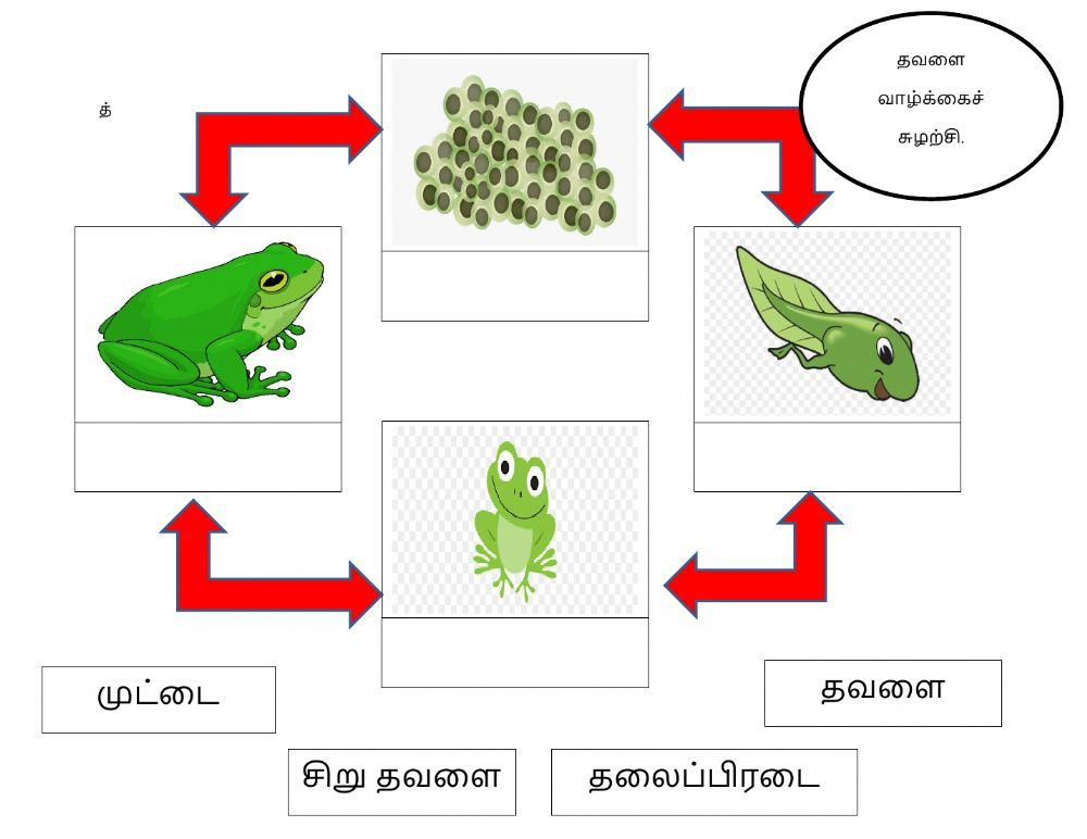 Life Cycle Of The Frog Worksheet