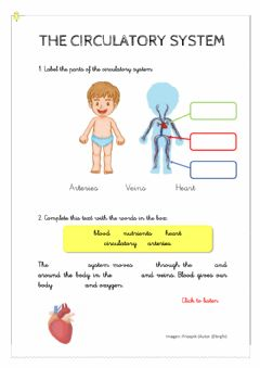 Interactive worksheet The circulatory system
