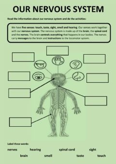 Interactive worksheet Our nervous system