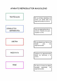 Interactive worksheet Aparato reproductor masculino