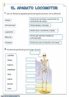 Interactive worksheet Aparato locomotor