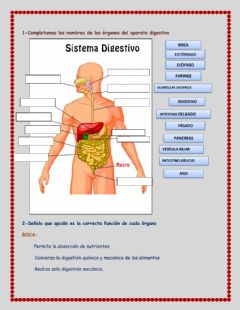 Interactive worksheet Sistema digestivo