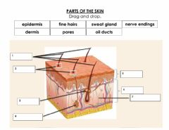 Interactive worksheet Parts of the Skin