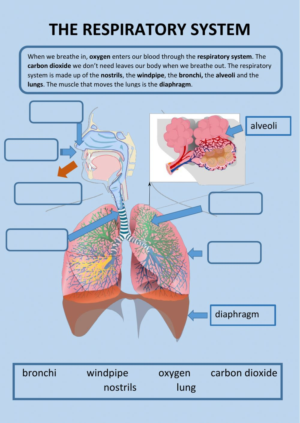 The respiratory system activity With Regard To The Respiratory System Worksheet