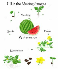 Interactive worksheet Watermelon Life cycle