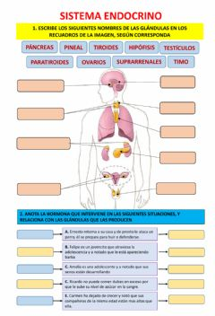 Interactive worksheet SISTEMA ENDOCRINO