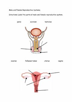 Interactive worksheet Male and Female Reproductive System