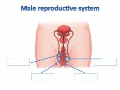 Ficha interactiva Male reproductive system