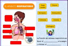 Interactive worksheet El aparato respiratorio