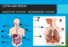 Ficha interactiva Digestive and Respiratory System vocabulary